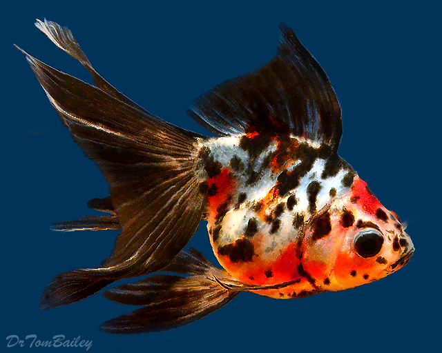 What is your favourite Breed/variety of Goldfish? - Off