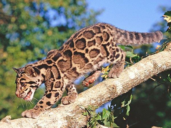 cloudedleopard.jpeg